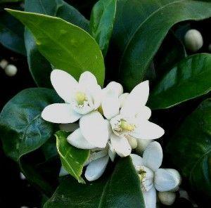 flor del naranjo