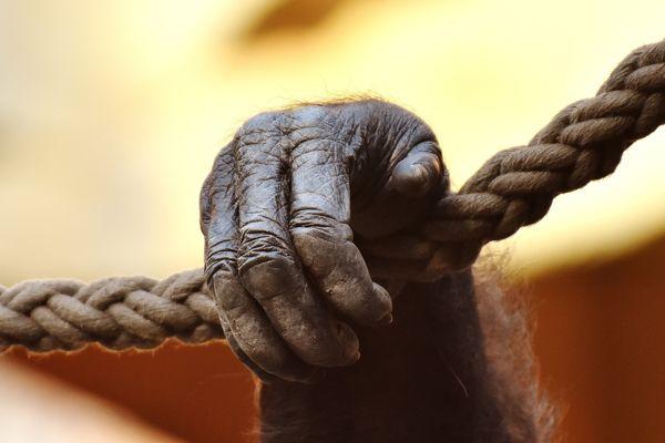 Mano de gorila (Gorilla sp.)