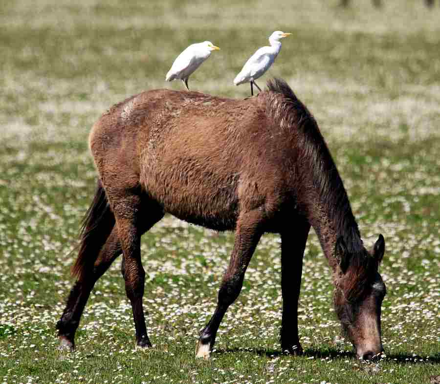 caballo salvaje de Doñana